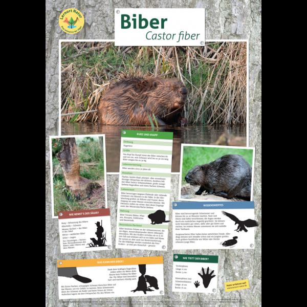 Lernort Natur-Tierposter Biber
